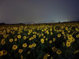 夜のひまわり畑
